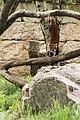 Ailurus fulgens (Panda roux) - 129.jpg