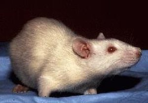 Laboratory rat - The albino laboratory rat with its red eyes and white fur is an iconic model organism for scientific research in a variety of fields.