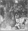 Albrechtický dub 1890.jpg