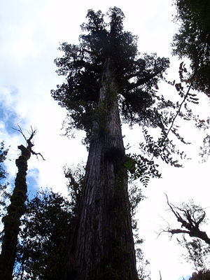 Alerce Andino National Park - Image: Alerce Tree in Alerce Andino National Park