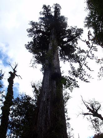 Alerce Andino National Park - Image: Alerce Tree in Alerce Andino National Park
