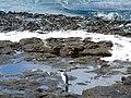 Algues laminaires géantes, durvillae - panoramio.jpg