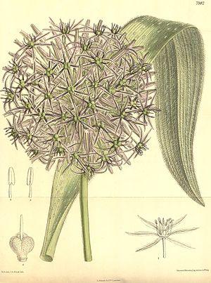 Allium cristophii - Image: Allium albopilosum
