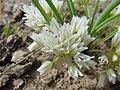 Allium simillimum-5-02-04.jpg