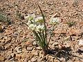 Allium textile (2).jpg