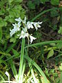 Allium triquetrum03.jpg