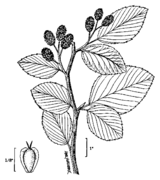 Alnus viridis drawing.png