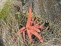 Aloe decurva - Zembe 1 (10295462245).jpg