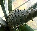 Aloe ferox (18).jpg