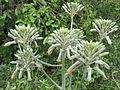 Aloe racemes 1 (6825424984).jpg