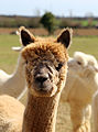 Alpaca in The Rodings, Essex, England 05.jpg