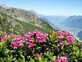 Alpenrosen auf dem Sunniggrätli.jpg