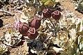 Alstroemeria spathulata (30610254745).jpg
