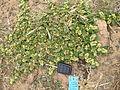 Alternanthera pungens plant2 (11680655994).jpg