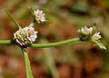 Alternanthera sessilis W2 IMG 3422.jpg