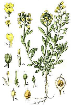 Berg-Steinkraut (Alyssum montanum), Illustration
