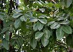 Amaltas (Cassia fistula) leaves in Hyderabad, AP W 289.jpg
