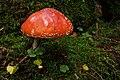Amanita muscaria (30142630886).jpg