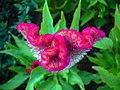 Amaranthus (13).jpg