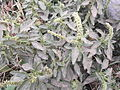 Amaranthus spinosus-1-yercaud-salem-India.JPG