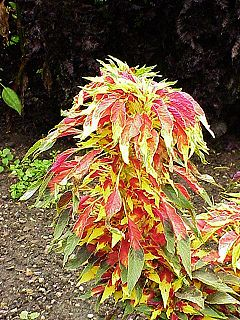 <i>Amaranthus tricolor</i>