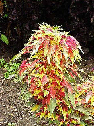 Amaranthus tricolor - Image: Amaranthus tricolor 6