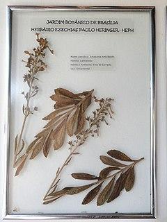 <i>Amasonia</i> genus of plants