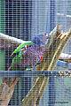 Amazona imperialis -Roseau -Dominica -aviary-6a.jpg