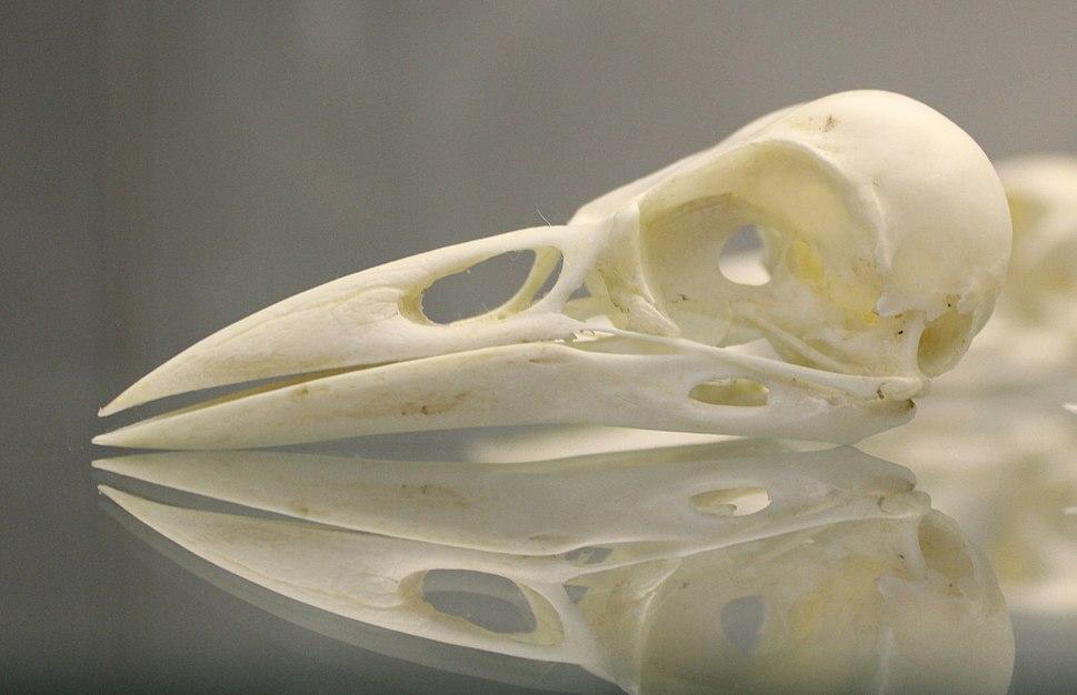 American Crow (Corvus brachyrhynchos) skull at the Royal Veterinary College anatomy museum