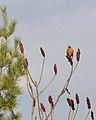 American Robin (Turdus migratorius) - Guelph, Ontario 2020-04-18.jpg