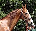 American Saddlebred7.jpg
