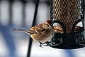 American Tree Sparrow (Spizella arborea) (12843666524).jpg