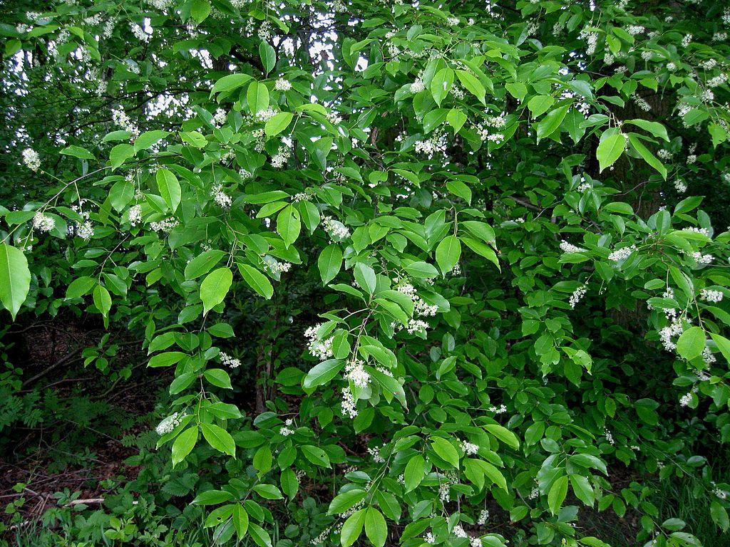 Čremcha neskorá (lat. Prunus serotina)