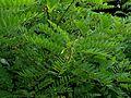 Amorpha fruticosa - Flickr - peganum.jpg