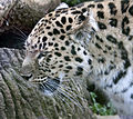 Amur Leopard 1 (5018298104).jpg