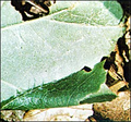 An oak leaf rolled by a leafroller.png