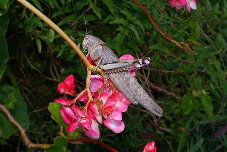Anacridium melanorhodon arabafrum 2.JPG