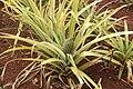 Ananas comosus CB76 Trinidad 4412.JPG