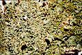 Anaptychia palmulata-8.jpg