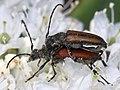 Anastrangalia reyi sequensi (Cerambycidae- Lepturinae- Lepturini) mating on Ledum hypoleucum (36099305596) 2.jpg