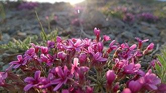 Flora of the United States - Image: Androsace nivalis (Douglasia nivalis) 5