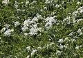 Anemone narcissiflora - Narcissus anemone 01.jpg