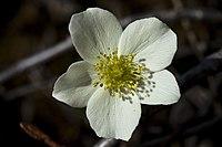 Anemone parviflora.jpg