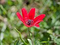 Anemone pavonina (33935317366).jpg
