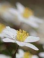 Anemones - kvitveis - hvitveis - 12.JPG