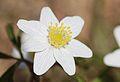 Anemones - kvitveis - hvitveis - 14.JPG