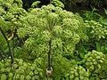 Angelica archangelica 2 RF.jpg