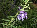 Angelonia flowers-Sunny brook-yercaud-salem-India.jpg