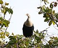 Anhinga in tree with light plumage.jpg