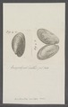 Anodonta crispa - - Print - Iconographia Zoologica - Special Collections University of Amsterdam - UBAINV0274 076 10 0015.tif